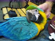 Sдома,  поднятые и зарегистрирован синих и золотых попугаи ара для прод