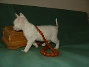 купить котенка уральский рекс